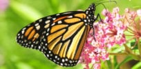 monarch milkweed