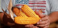 Is drought-tolerant CRISPR corn GMO?
