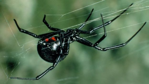 The WO virus appears to have horizontally transferred poison genes from black widow spiders