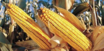 'Substantial equivalence': Are GMOs as safe as other conventional and organic foods?