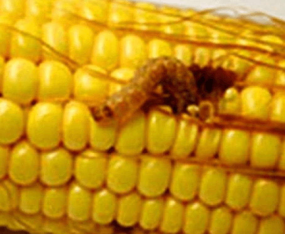 a type of corn marketed by dow chemical co and dupont co is failing to live up to promises that it prevents a damaging worm from feeding on the crop