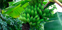 Can genetic engineers use genes from wild bananas to save our favorite fruit?