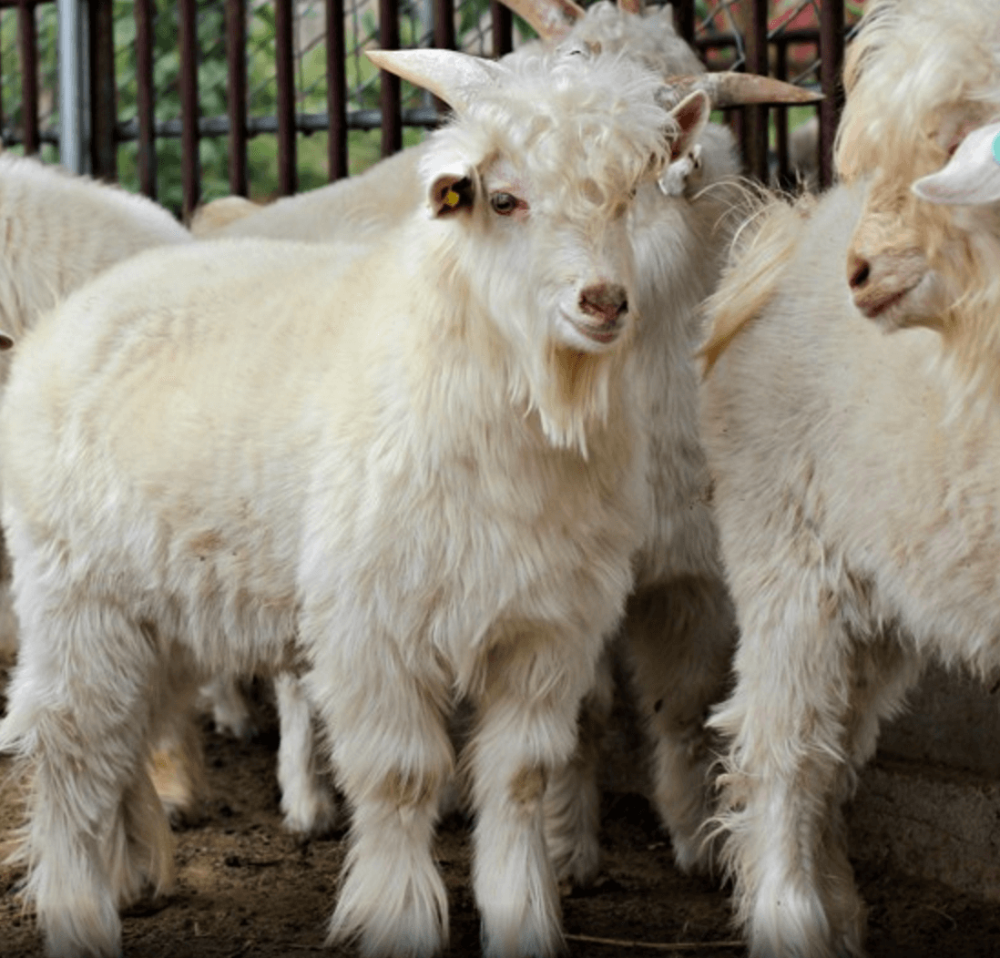 Chinese use CRISPR to breed hairier cashmere goats