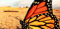 How to save Monarch butterflies? Banning glyphosate and planting milkweeds won't help