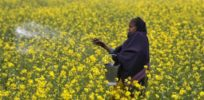 Mark Lynas: India's GMO mustard will bring cheaper hybrids, not increase herbicide use