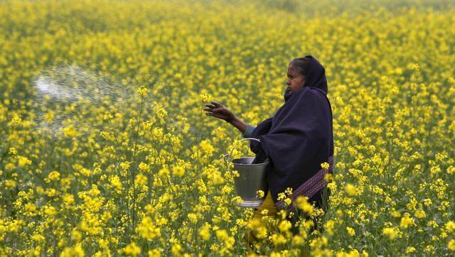 northern photo field mustard farmer casting allahabad a ea f e ac f e d bee