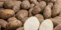 Two new varieties of blight-resistant GMO potatoes approved by USDA
