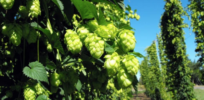 Talking Biotech: Florida's Kevin Folta debunks claims of glyphosate in food; Oregon State's Shaun Townsend uses genetics to breed more flavorful beer hops