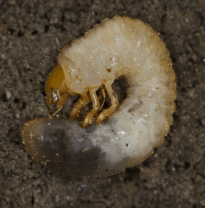 Chafer beetle grub, a lawn pest commonly controlled with imidaclopid Photo by David Cappaert/Wikimedia