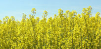 Activists destroy conventional rapeseed (canola) fields in France, claiming they are GMOs