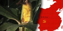 china GM corn