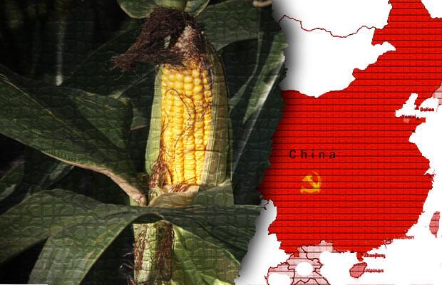 china GM corn