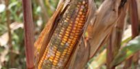 Curtailing use of herbicides on corn could lead to sizable increase in fungal contamination