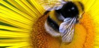 Bumblebees fed high doses of neonicotinoids in laboratory setting did not buzz as much or release pollen