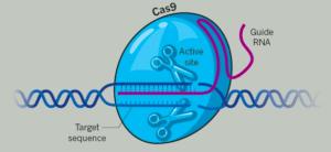 CRISPR scissors