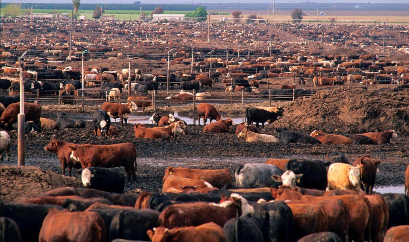 California feedlot drought