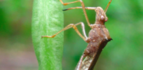 Bug gene therapy: Helpful insects could carry genes to protect diseased crops