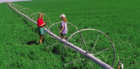 Why farmers have been slow to adopt GMO alfalfa