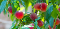 Monsanto sued by peach farmer over alleged damage from illegal herbicide use