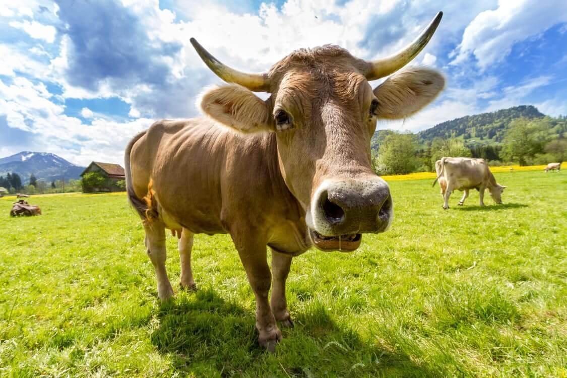 cow pasture animal almabtrieb