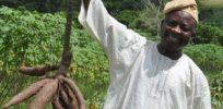 Cassava field roots L Sanni Nigeria A Graffham e