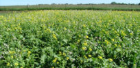 species cover crop mixture
