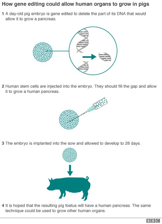 pig gene editing