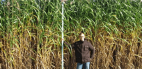 Elephant grass shown to be higher yielding biofuel than switchgrass