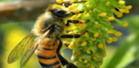 Economists, in 'predatory' journal, challenge Syngenta study finding neonics pose 'low risk' to bees