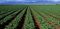 Monoculture: Is it really the problem 'intensive agriculture' critics make it out to be?
