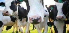 dairy cows e