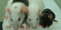 Transplant breakthrough? Organs of one species grown inside an animal of another