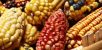 South African saga: Anti-GMO activist groups' disinformation campaign against new disease-resistant corn