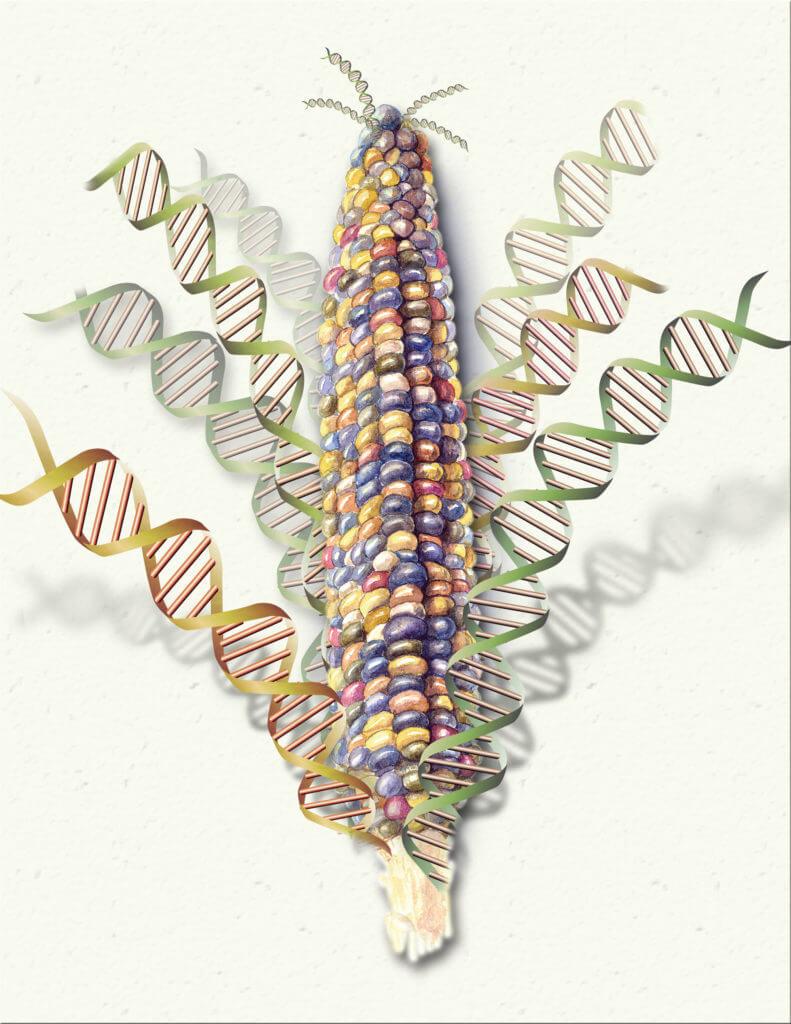 maize genome h