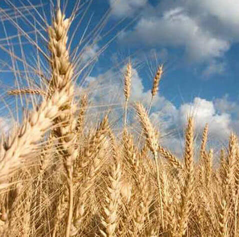 Decoding wheat genome enhances production in the face of severe climate disruptions