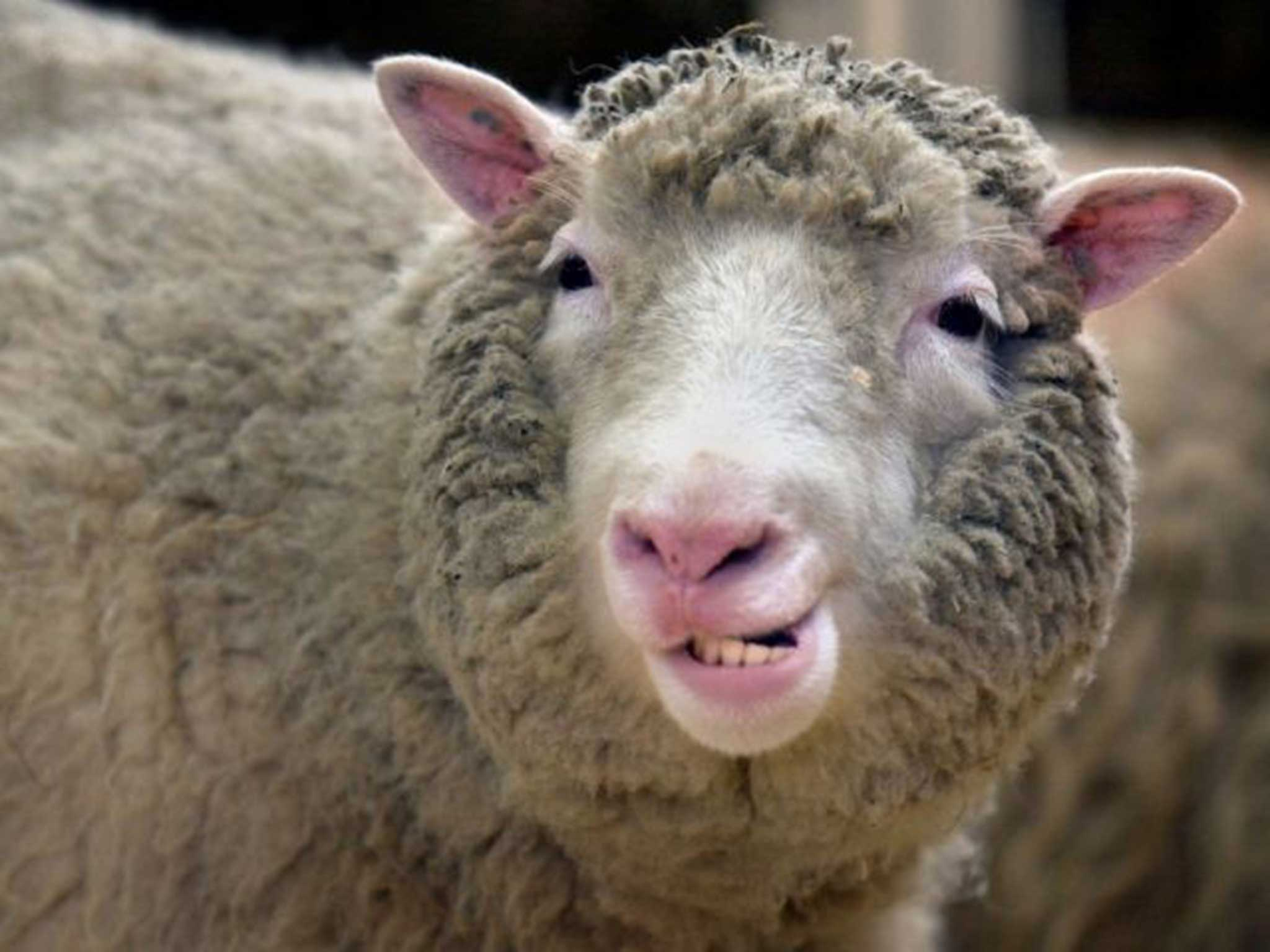 Epigenetics Around the Web: Dolly the sheep and aging