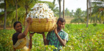 India may further cut Monsanto GMO cotton royalty, eventually to zero