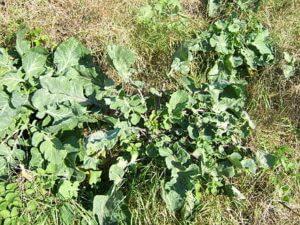 px Brassica oleracea