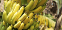 Disease-resistant GMO banana field trial approved in Australia