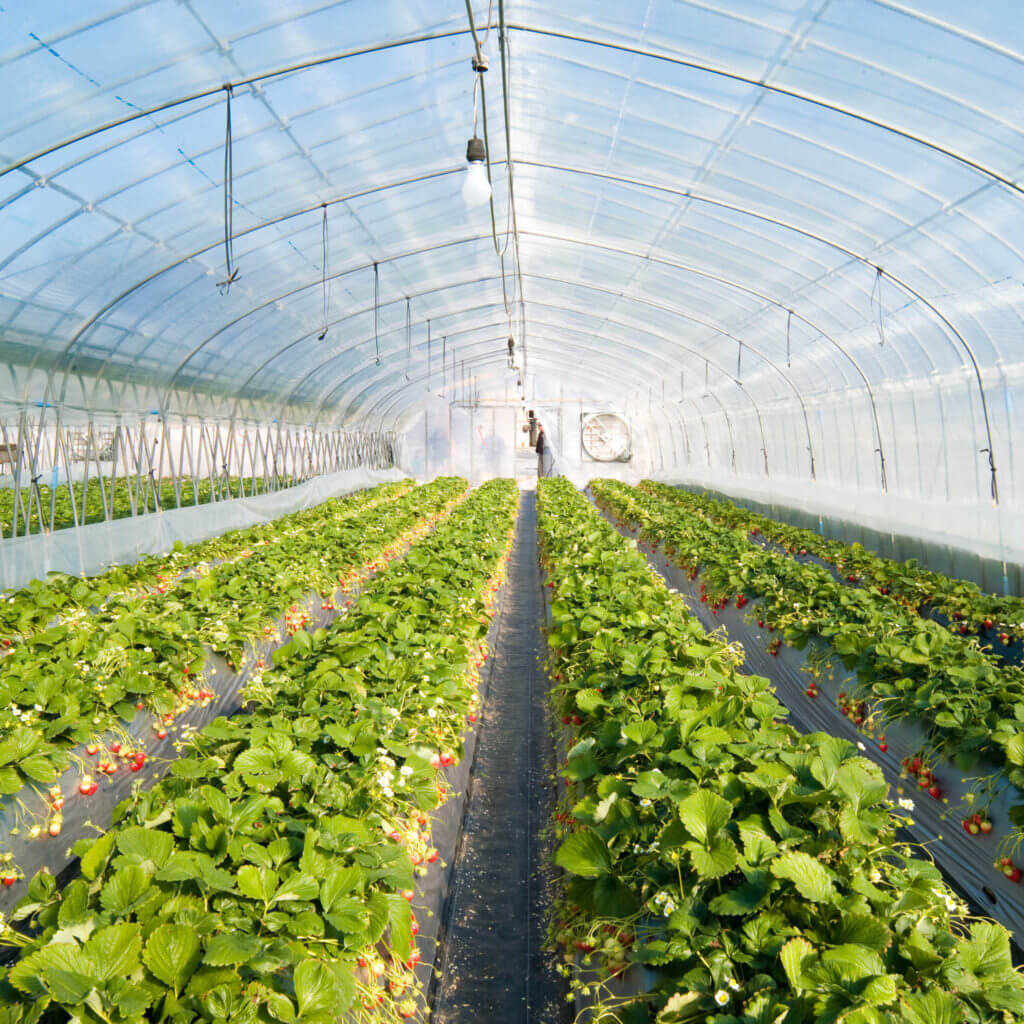 Strawberry greenhouse e
