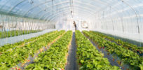 Strawberry greenhouse e