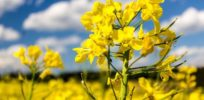 oilseed rape e
