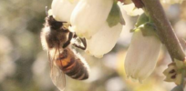 Oregon considers new restrictions, labels for neonicotinoid insecticides over bee health concerns