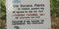 banana e