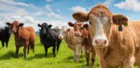 Online genetic database helps breeders make healthier cattle