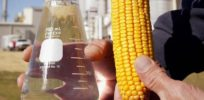 'Industrial' corn: GM variety makes ethanol more energy efficient