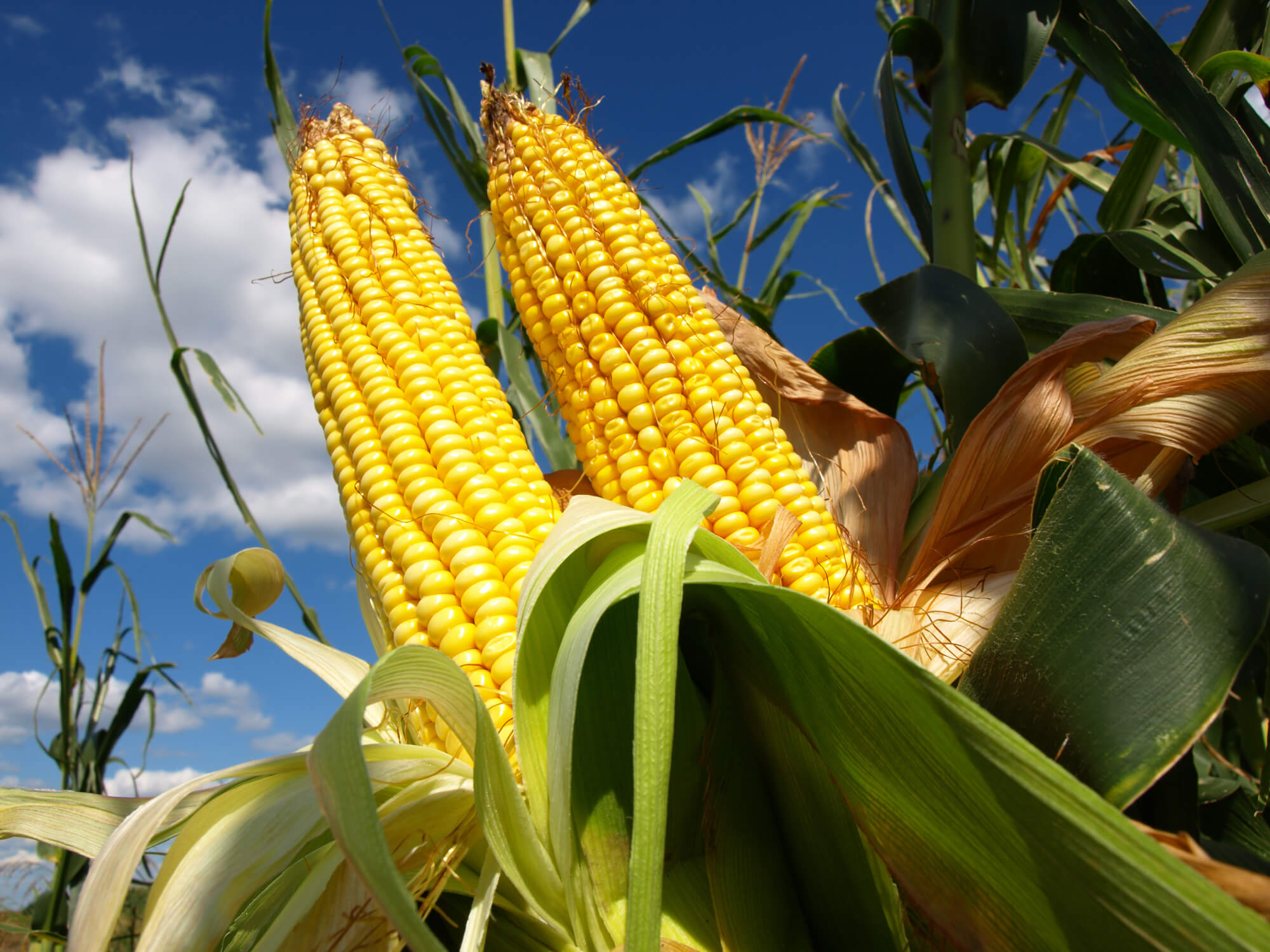 Maize Wallpaper: To Make Farming More Sustainable, Don't Mimic Nature