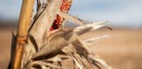 dry corn field e