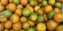 Improved orange tree genetics could help fight yellow dragon disease in Florida