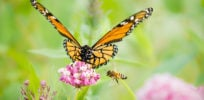 Talking Biotech: Habitat loss, parasitic mites — not GMOs, pesticides — prime culprits in butterfly, bee losses